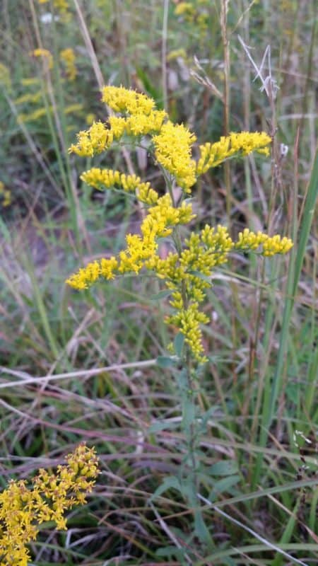 Jefferson National Forest Plant Walk Virginia Goldenrod