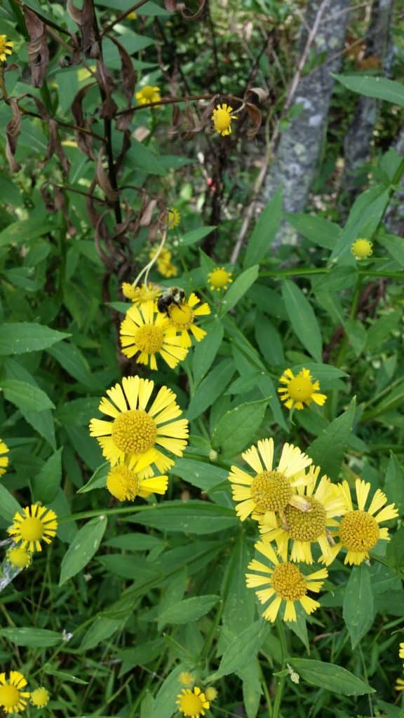 Jefferson National Forest Plant Walk Virginia sneezeweed