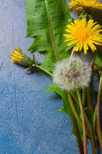 All parts of dandelion are edible, but the blosoms and leaves are the most palatable for tea making.