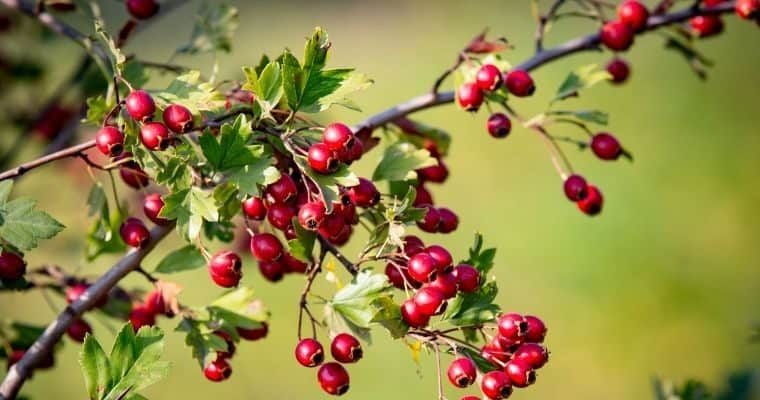 Medicinal Shrubs and Trees to Use in Your Landscape