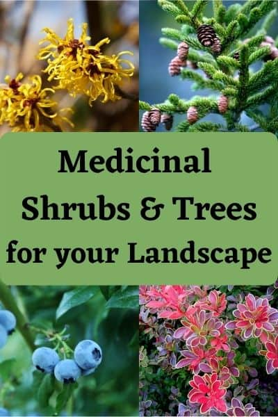 Medicinal Bushes and Trees to plant in your yard landscape