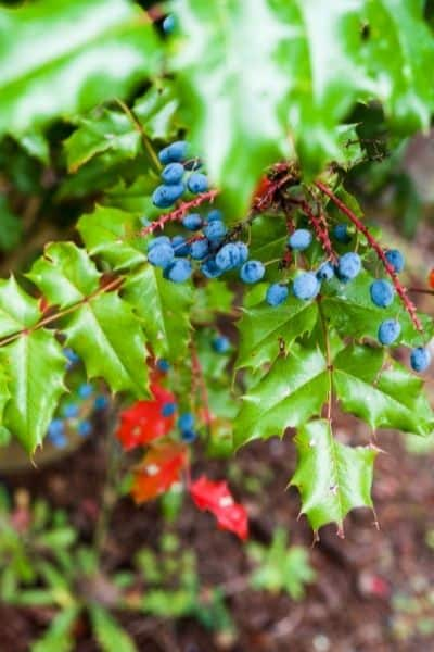 Oregon Grape makes an interesting statment in your medicinal landscape.