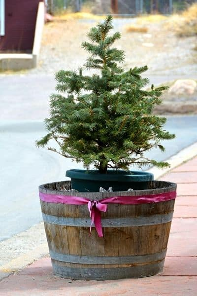 Pine Trees are used by herbalists to heal multiple ailments, and they are great statement trees in your landscape.