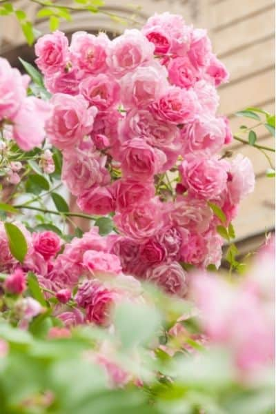 Roses make beautiful additions to your medicinal landscape.