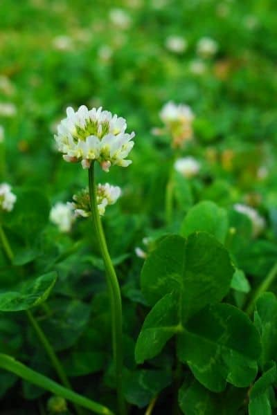 White clover blossoms are lovely added to tea.