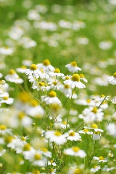 Chamomile is one of the most common calming nervine herbs that helps you deal with stress and promotes relaxation. DiscoverCreateInspire.com
