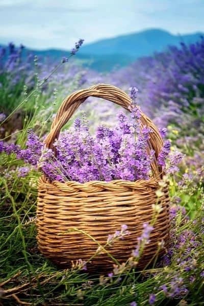 Lavender is widely used as a calming nervine herb that helps you deal with stress and promotes sleep. DiscoverCreateInspire.com