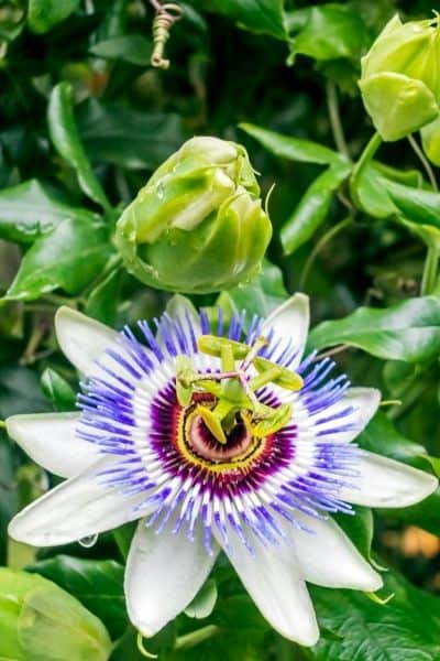 Passionflower is a relaxing nervine that helps the body deal with stress and promotes sleep. DiscoverCreateInspire.com