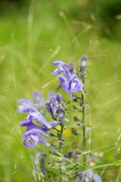 Skullcap is a relaxing nervine that helps you deal with stress. DiscoverCreateInspire.com
