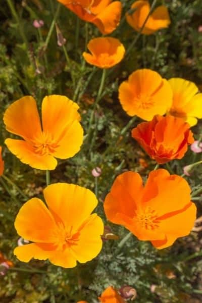 California Poppy is a relaxing Adaptogen to help with stress and sleep. DiscoverCreateInspire.com