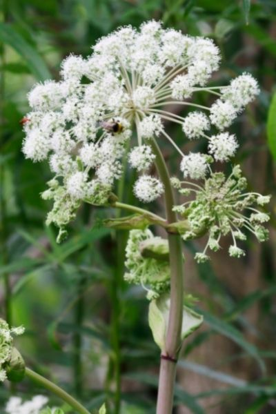 Angelica, Angelica archangelica, Visual Guide to Common Edible Flower Blossoms DiscoverCreateInspire.com