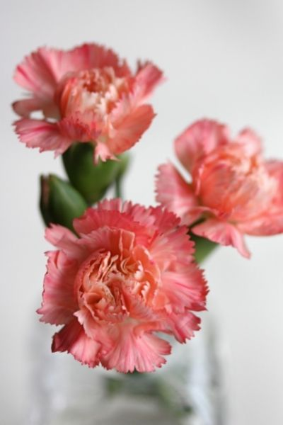 Carnation, Dianthus caryophyllus, Visual Guide to Common Edible Flower Blossoms DiscoverCreateInspire.com