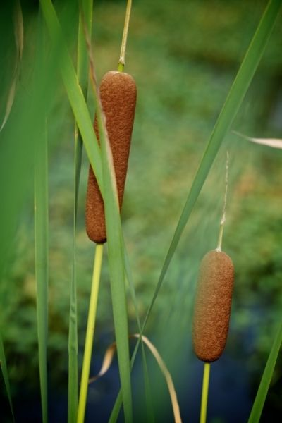 Cattails, Typha angustifolia and Typha latifolia, Visual Guide to Common Edible Flower Blossoms DiscoverCreateInspire.com