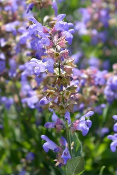Sage, Salvia officinalis, Visual Guide to Common Edible Flower Blossoms DiscoverCreateInspire.com