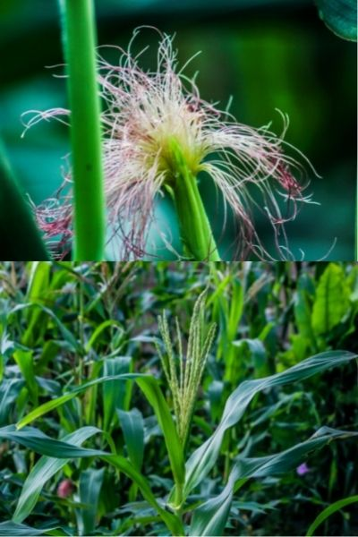 Corn Shoots, Zea mays, Visual Guide to Common Edible Flower Blossoms DiscoverCreateInspire.com