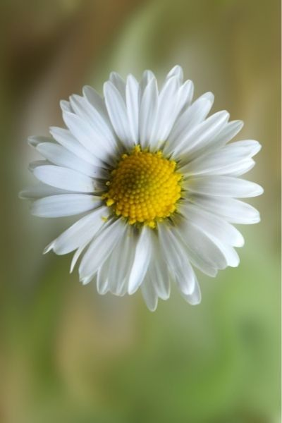 Daisy, Bellis perennis, Visual Guide to Common Edible Flower Blossoms DiscoverCreateInspire.com