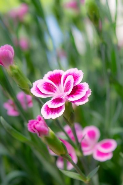 Pinks, Dianthus spp., Visual Guide to Common Edible Flower Blossoms DiscoverCreateInspire.com