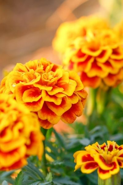 Marigold, Tagetes patula, Tagetes erecta, Visual Guide to Common Edible Flower Blossoms DiscoverCreateInspire.com
