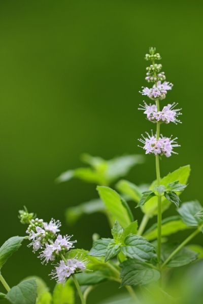 Mint, Mentha spp.,  Visual Guide to Common Edible Flower Blossoms DiscoverCreateInspire.com