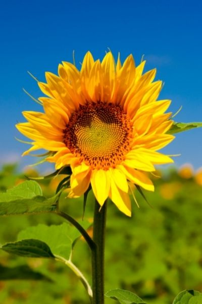 Sunflower, Helianthus annuus,  Visual Guide to Common Edible Flower Blossoms DiscoverCreateInspire.com