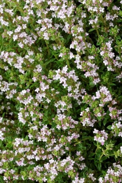 Thyme, Thymus vulgaris, Visual Guide to Common Edible Flower Blossoms DiscoverCreateInspire.com