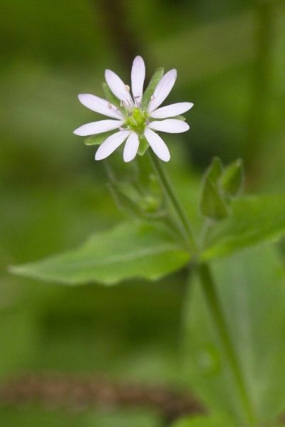 Chickweed, Stellaria spp.,  Visual Guide to Common Edible Flower Blossoms DiscoverCreateInspire.com