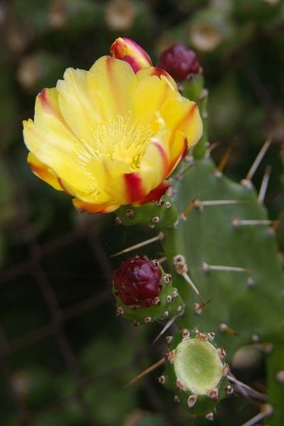 Prickly Pear Cactus Flower, Opuntia, Visual Guide to Common Edible Flower Blossoms DiscoverCreateInspire.com